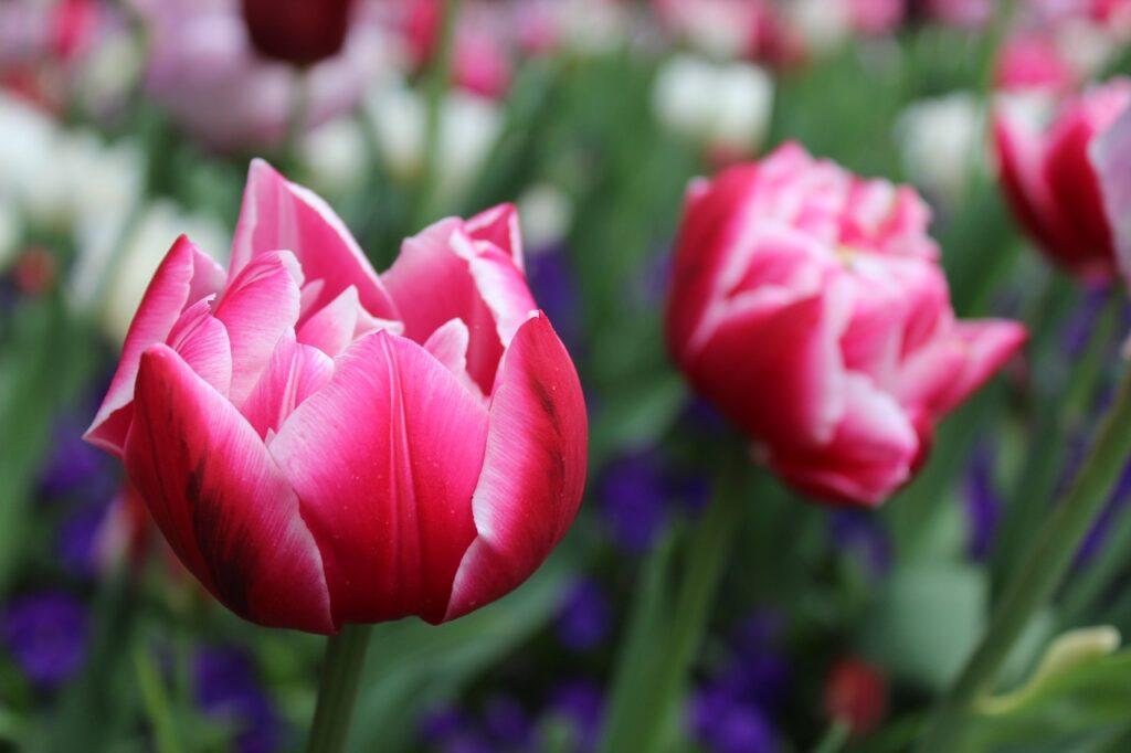 flower, tulips, red-2984757.jpg